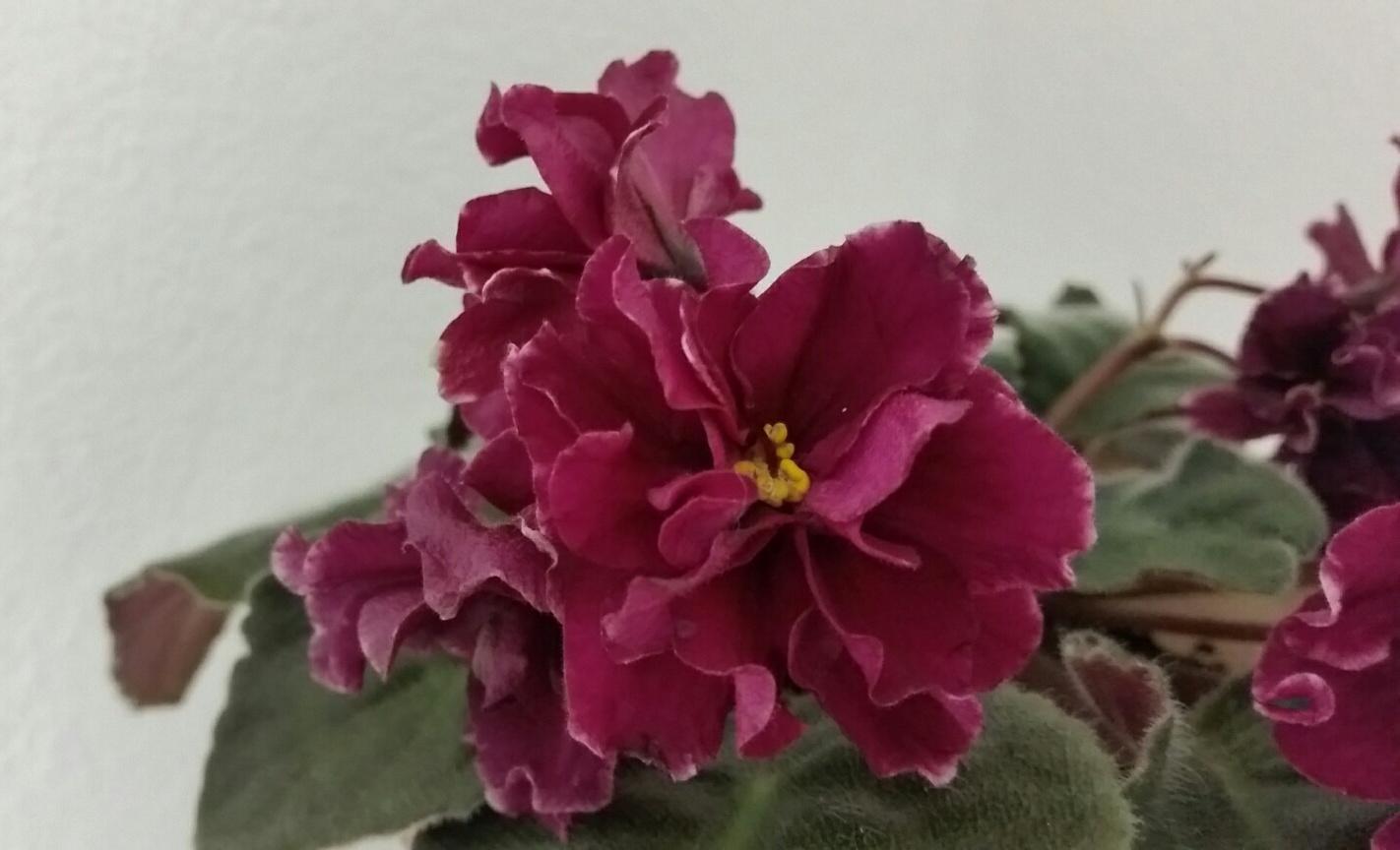 Узамбарская фиалка фото цветов