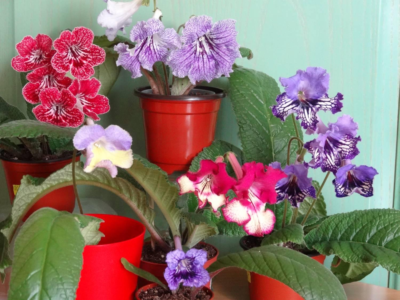 Комнатный цветок стрептокарпус: фото сортов с описанием, размножение и 67